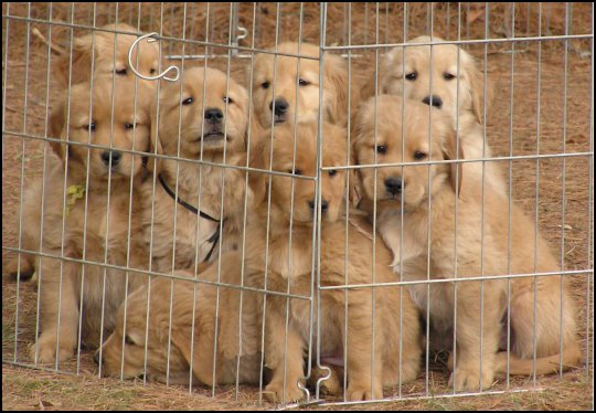 Chesapeake Golden Retriever Club Member Submitted Photos